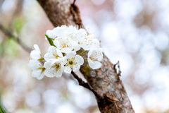 Bloomed Chinese plum growth. And background of bokeh Royalty Free Stock Image
