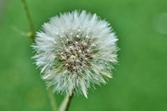 Bloomed dandelion in nature grows from green grass. Old dandelion closeup stock photography