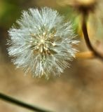 Bloomed dandelion in nature grows from green grass royalty free stock photography