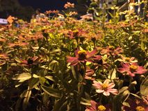 Bloomed flowers. Flowers under the lamp light Stock Photos
