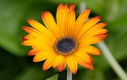 Bloomed fresh daisy flowers Stock Image