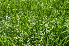 Bloomed grass background Stock Photography