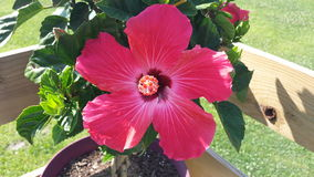 Bloomed Hibiscus Royalty Free Stock Photos