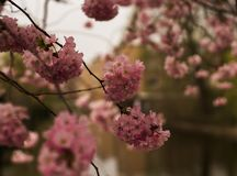 Very beautiful, pink blossom in bloom royalty free stock photos