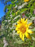 Bloomed sunflower stock photo