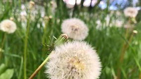 Bloomed white dandelion close-up in the grass. Nature background of dandelions in the grass. Blurred green nature background stock video footage