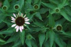 bloomer δάνειο Στοκ φωτογραφίες με δικαίωμα ελεύθερης χρήσης