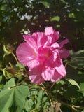 Bloomer atrasado Fotografia de Stock Royalty Free