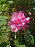 Bloomer atrasado Imagem de Stock