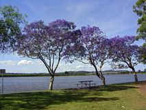 Bloomers. Jacarandas at the Hunter River in Raymond Terrace in full bloom Stock Photos