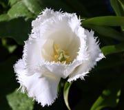 Bloomfrom branco da tulipa acima, florescência da flor da mola Fotos de Stock Royalty Free