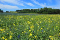 Bloomig庄稼在夏天 库存图片