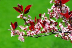 Bloomig cherry tree Royalty Free Stock Image