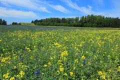 Bloomig crops in summer Stock Image