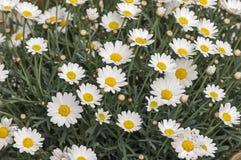 Bloomig-Gänseblümchen Stockbild