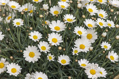 Bloomig marguerites Stock Image