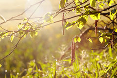 Bloomimg Haselnut树 免版税库存照片