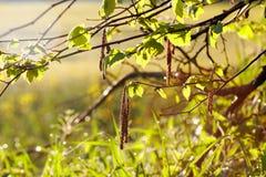Bloomimg Haselnut träd Arkivfoton