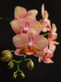 Bloomimg Orchids Royalty Free Stock Photos