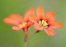 Bloomin abbastanza Fotografia Stock