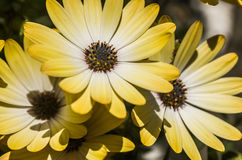 Bloomin Daisies Stock Photography