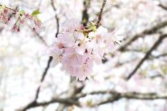 Bloomin körsbär royaltyfri fotografi