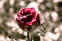 Bloomin'-Pfingstrose Stockfotografie