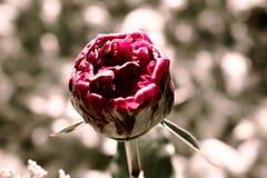 Bloomin pion Arkivbild