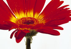 Bloomin' red flower. Closeup image of a red flower. (large image - 11.5 x 16.5 inch royalty free stock photography