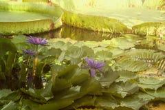 Bloomin roxo dos lírios de água imagens de stock royalty free