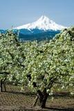 bloominfruktträdgårdpear Fotografering för Bildbyråer