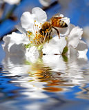 Blooming. Tree and a bee reflected on water Stock Image