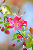 Blooming Royalty Free Stock Photography