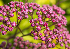 Blooming Abstract. A close-up of the vibrant flowers of a magic carpet bush stock photos