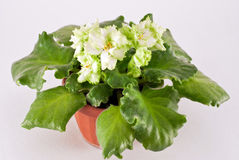 Blooming African violet Stock Photo