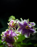 Blooming African violet isolated on black Stock Photo
