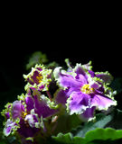 Blooming African violet isolated on black Stock Images