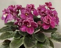 `Jolly Frills` African violet. Blooming African violet plant, `Jolly Frills,` with variegated foliage and deep rose frilly blooms with white edges Stock Photos