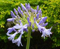 Blooming Agapanthus. Agapanthus not yet fully bloomed Stock Photo