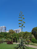 Blooming agave in a city park. Blooming agave on green lawn, palms and trees in the city park, Sochi, Russia Royalty Free Stock Photo