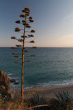 Blooming agave in dusk. Agave flower in dusk against Mediterranean Sea. Costa Brava, Spain Royalty Free Stock Image