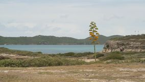 Blooming agave plant with the sea in the background stock footage