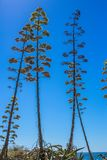 Blooming agave trees against the sky. Blooming agave trees on a background of blue sky and ocean Stock Images