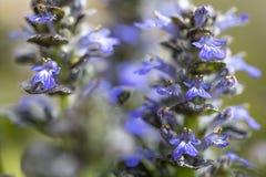 Ajuga pyramidalis plant, closeup shot Royalty Free Stock Photos