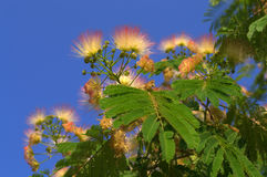 Blooming Albizia julibrissin Stock Photography