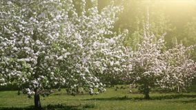 Blooming Alley in Spring Garden. Blossoming Apple Trees Alley in Spring Garden Nature Background stock video footage