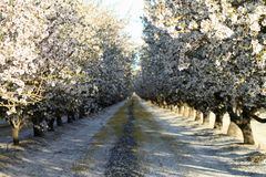 Blooming Almond Orchard stock photo