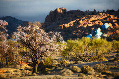 Blooming almond in Tafraout, Morocco. Shallow dof Stock Image