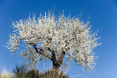 Blooming Almond Tree Stock Photography