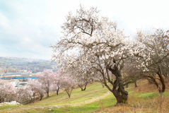 Blooming almond tree Royalty Free Stock Image
